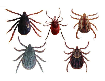 Ticks and Diseases